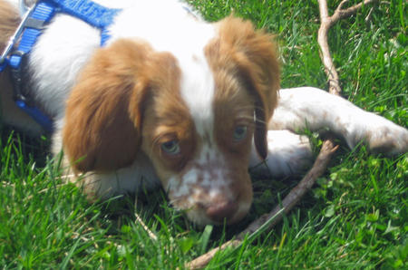 Pepper Jack the Brittany Pictures 563120