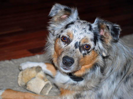 Pepper the Australian Shepherd Pictures 1002064