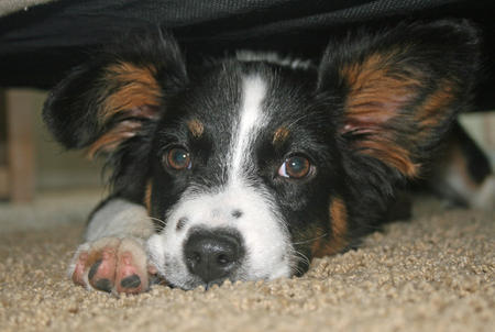 Pepper the Border Collie Mix Pictures 987872