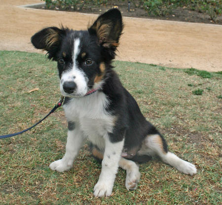 Pepper the Border Collie Mix Pictures 987873