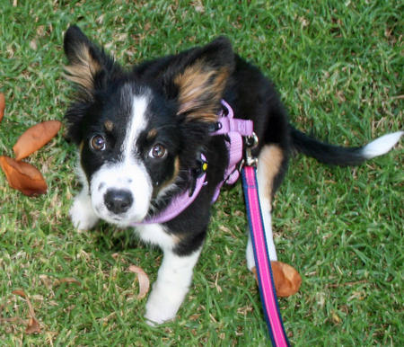 Pepper the Border Collie Mix Pictures 987875