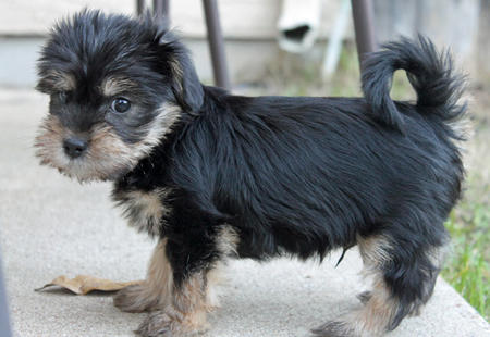 Percy the Yorkie Mix Pictures 1035069