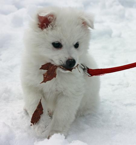 Perrin the American Eskimo Dog Pictures 998716