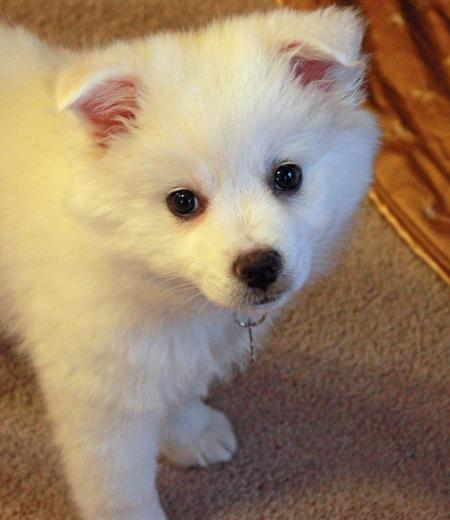 Perrin the American Eskimo Dog Pictures 998717