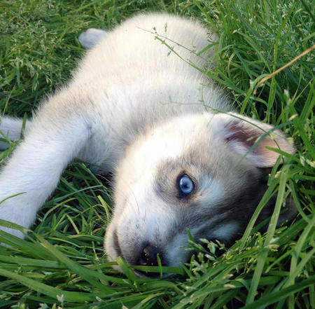 Perrin the Siberian Husky Pictures 1036748
