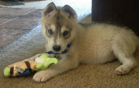 Perrin the Siberian Husky Pictures 1036750