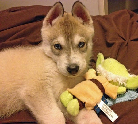Perrin the Siberian Husky Pictures 1036751