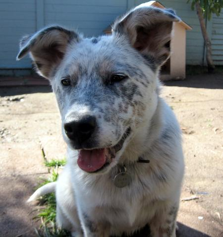 Peso the Australian Cattle Dog Mix Pictures 792419