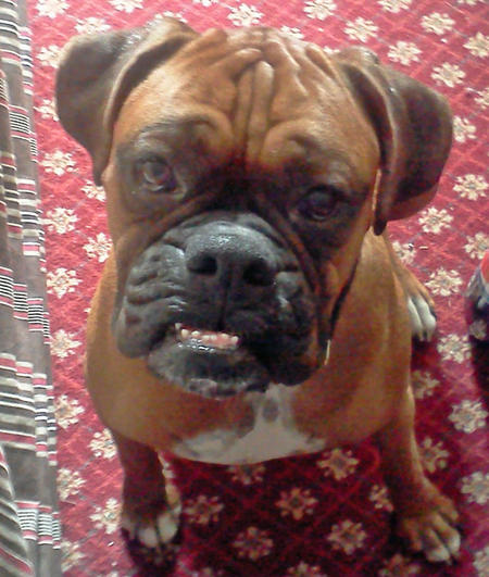 Pete the Boxer Pictures 1037663