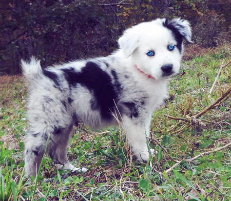 Phantom the Australian Shepherd Pictures 995705