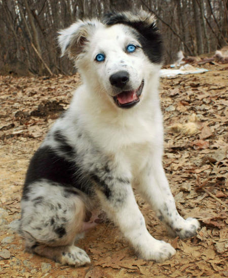 Phantom the Australian Shepherd Pictures 995708