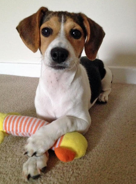 Phoebe the Beagle Mix | Puppies | Daily Puppy