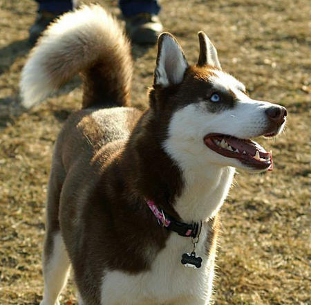 Phoenix Rose the Siberian Husky Pictures 991747
