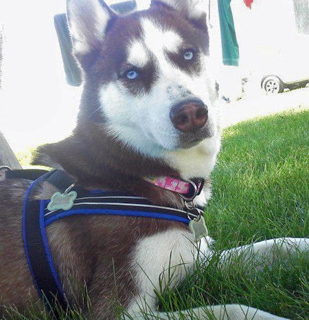 Phoenix Rose the Siberian Husky Pictures 991751