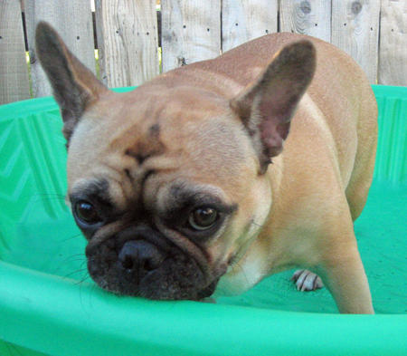 Pickles the French Bulldog Pictures 603326