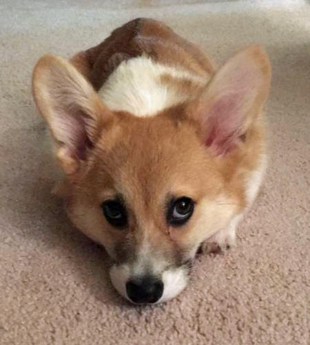 Pico the Pembroke Welsh Corgi Pictures 1053331