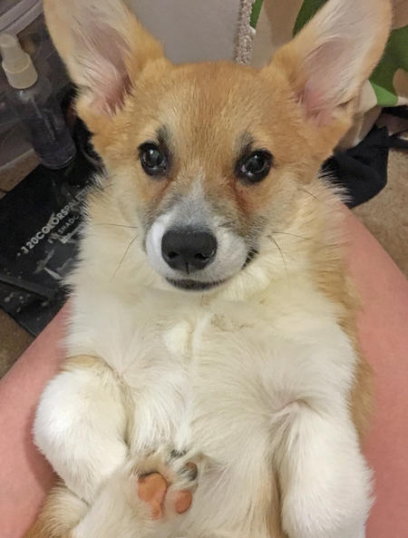 Pico the Pembroke Welsh Corgi Pictures 1053332