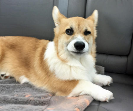 Pico the Pembroke Welsh Corgi Pictures 1053333