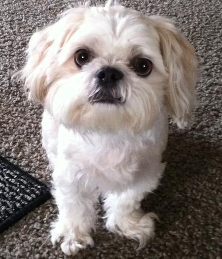 Pie the Shih Tzu Pictures 795329