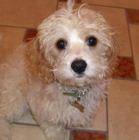 Pip the Bichon Frise Mix Pictures 857790