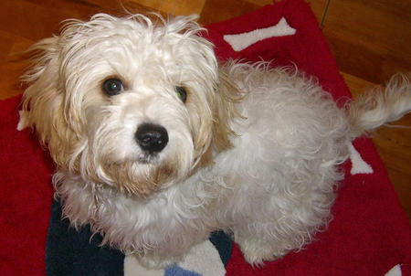 Pip the Bichon Frise Mix Pictures 857787
