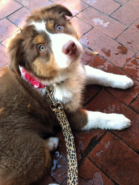 Pippa the Australian Shepherd Pictures 962139