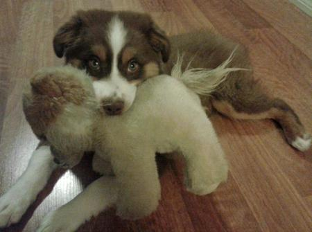 Pippa the Australian Shepherd Pictures 962143