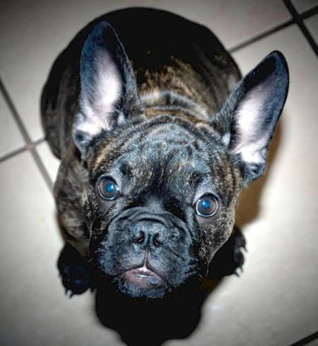 Pippa the French Bulldog Pictures 947297