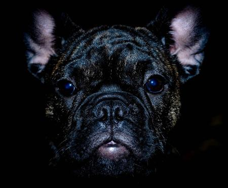 Pippa the French Bulldog Pictures 947299
