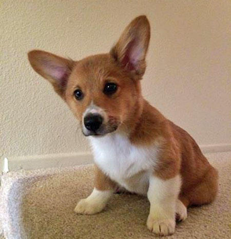 Pippin the Pembroke Welsh Corgi Pictures 1003480