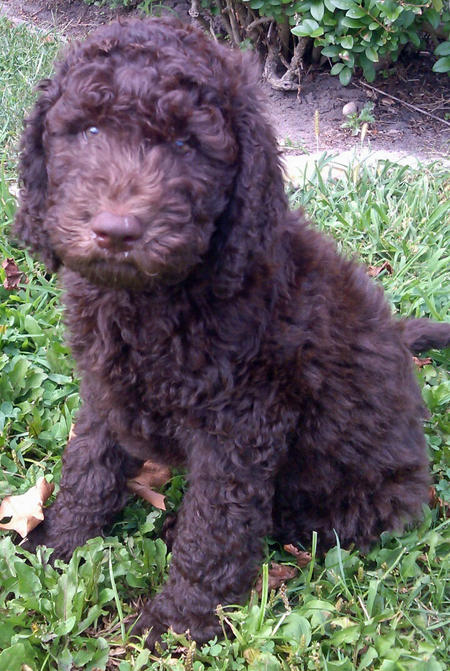 Pirate Salty Paws the Goldendoodle Pictures 986892