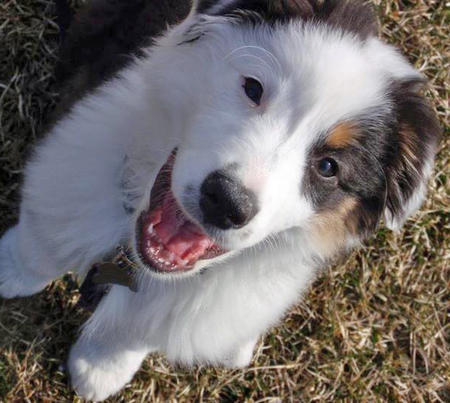 Pixel the Australian Shepherd Pictures 1052957