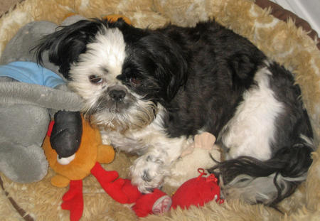 Pixie the Shih Tzu Pictures 1026246