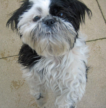 Pixie the Shih Tzu Pictures 1026247