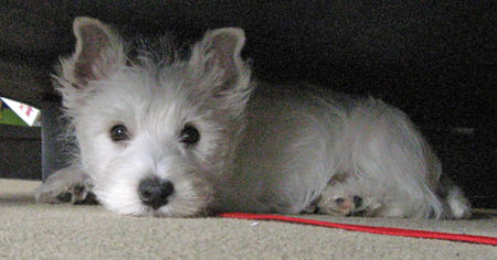 Pluto the West Highland Terrier Pictures 954397