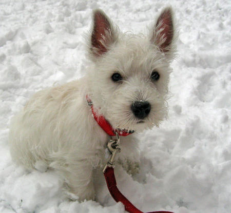 Pluto the West Highland Terrier Pictures 954398