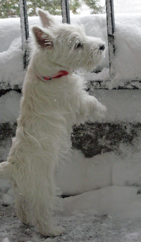 Pluto the West Highland Terrier Pictures 954399