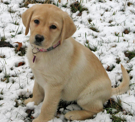 Polly the Labrador Retriever Pictures 1049677