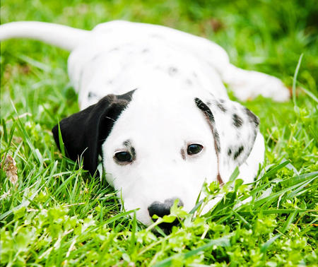 Pongo the Dalmatian Pictures 922328
