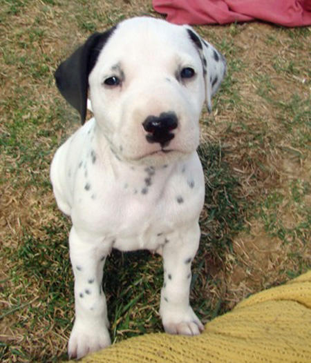 Pongo the Dalmatian Pictures 922329