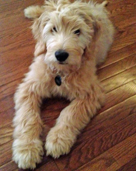 Porter the Goldendoodle Pictures 997943