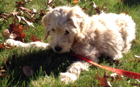 Porter the Goldendoodle Pictures 997945