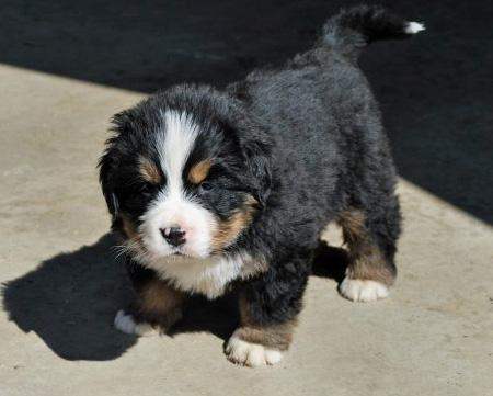 Posluszny the Bernese Mountain Dog Pictures 592354
