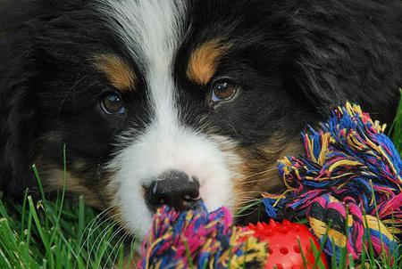 Posluszny the Bernese Mountain Dog Pictures 592356