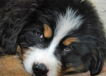 Posluszny the Bernese Mountain Dog Pictures 592360