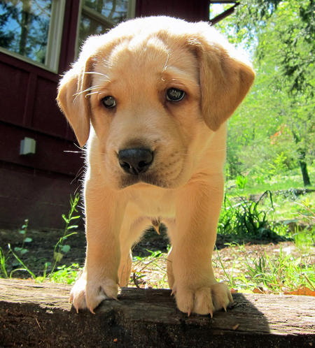 Pouncey the Labrador Retriever Pictures 894256