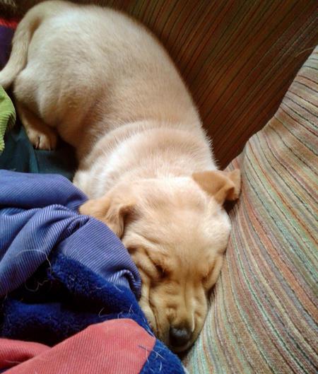 Pouncey the Labrador Retriever Pictures 894258