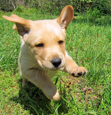 Pouncey the Labrador Retriever Pictures 894259