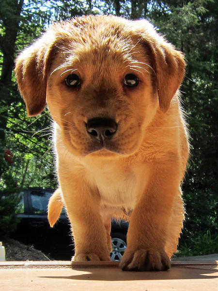 Pouncey the Labrador Retriever Pictures 894260