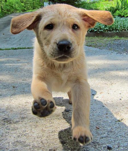 Pouncey the Labrador Retriever Pictures 894261